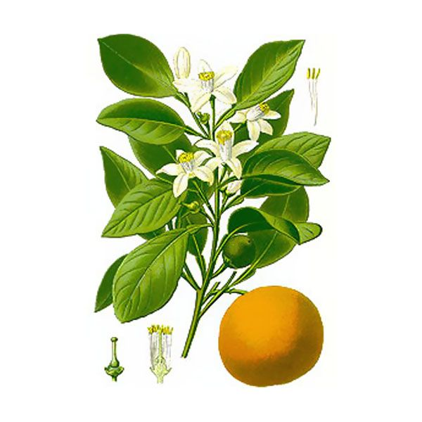 Chémotypes : linalol, limonène, trans-nérolidol / Nom botanique : citrus aurantium ssp. aurantium / Origine : Maroc / Partie distillée : fleur