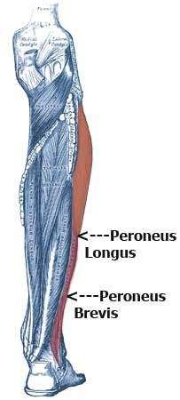 Peroneus Longus and Peroneus Brevis Muscles: Low Leg, Ankle, Foot Pain