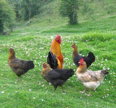 Cómo cuidar gallinas