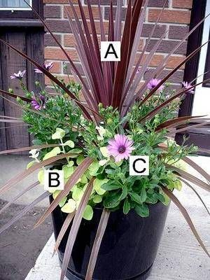 Container Flower Gardening Ideas: A = Red Cordyline B = Lamb's Ear C = Soprano Purple Osteospermum