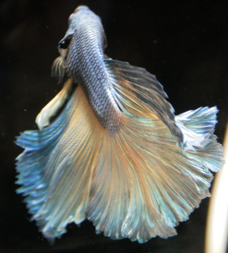 76 best beta fish tattoo images on pinterest beta fish for Types of betta fish petco