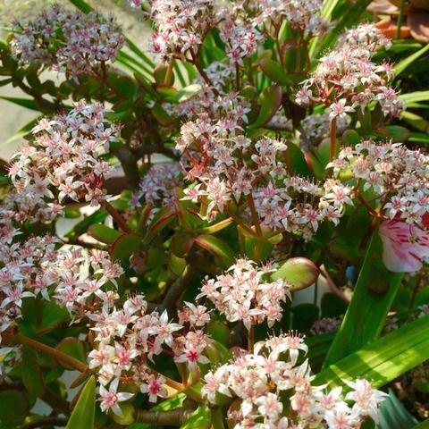 ふらむーんの気まぐれblog : 金のなる木にお花が咲きました。゚+.( °∀°)゚+.゚