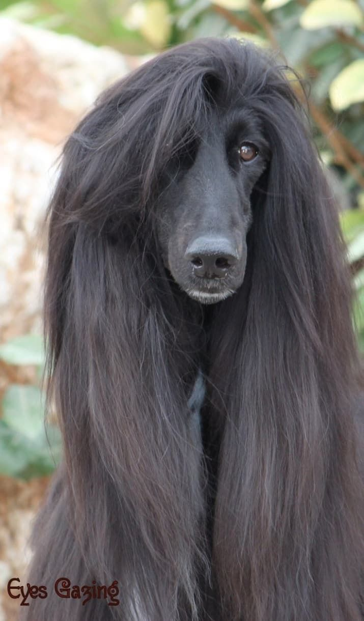 26 Important Hairstyles You Need To Try Right Now Afghan Hound
