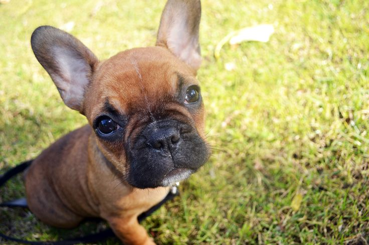 Semu in the grass! #Frenchie