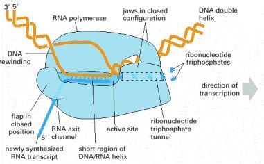 """DNA is transcribed by the enzyme RNA polymerase. The RNA polymerase (pale blue) moves stepwise along the DNA, unwinding the DNA helix at its active site. As it progresses, the polymerase adds nucleotides (here, small """"T"""" shapes) one"""
