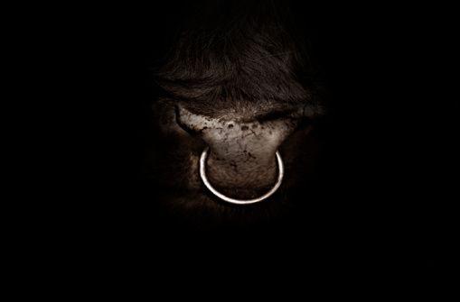 studio shot close up of bull nose ring