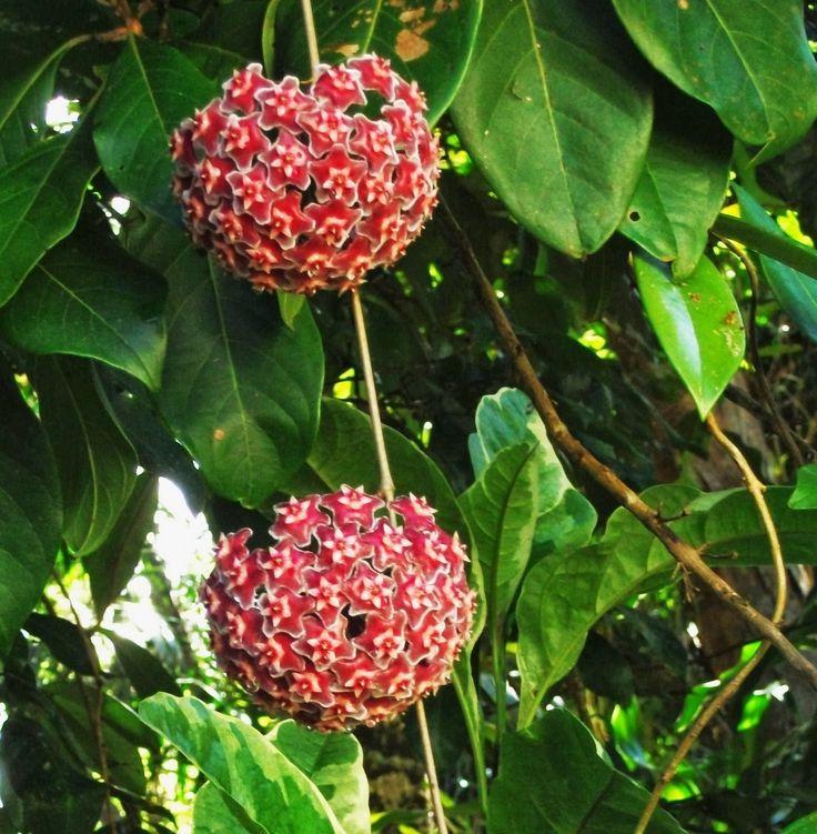 Mejores 101 im genes de flor de cera en pinterest for Hoya para cocinar