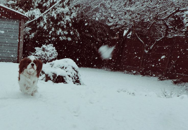 King Charles playing in snow