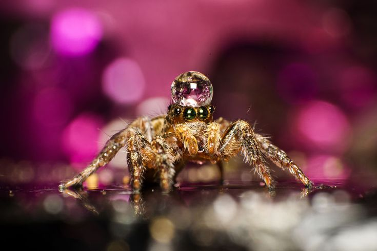 the qeen of jumping spider