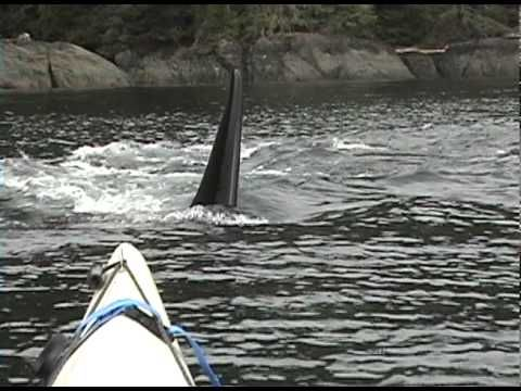 Orca whales approaching our sea kayak...