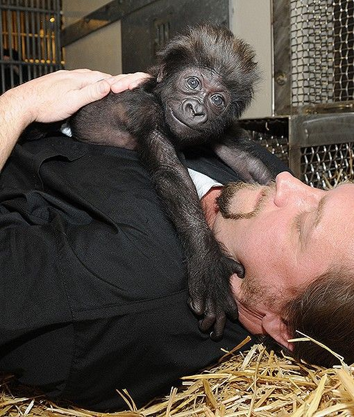 At the Cincinnati Zoo in Ohio, Primate Center Team Leader Ron Evans is pictured laying with Gladys, a baby gorilla. This is how a mother western lowland gorilla would lay with her young. Gladys was born on Jan. 29, but sadly, her mother would not care for her.  Fortunately, she is always surrounded by zoo workers and volunteers who are acting as surrogate mothers. So cute!