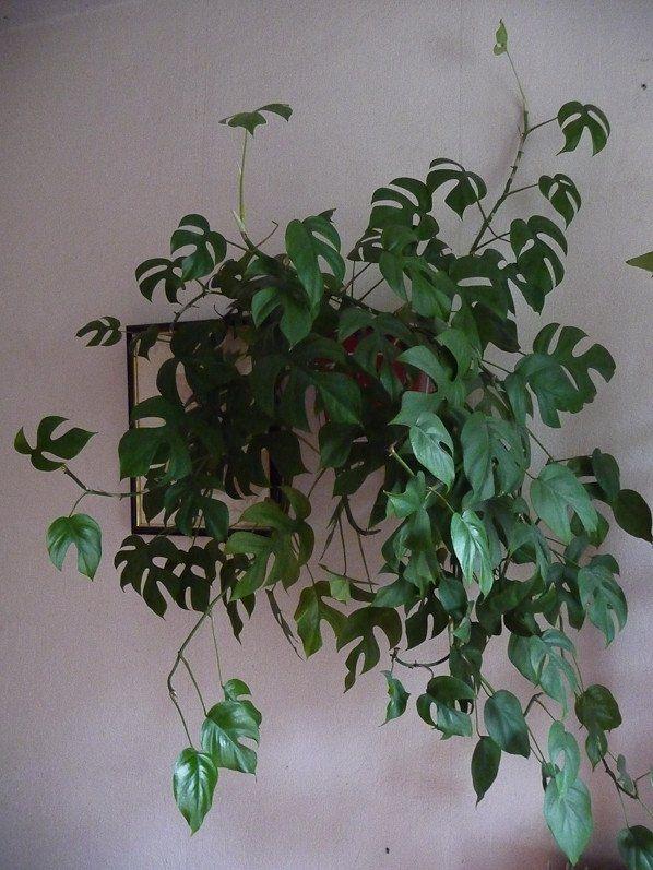 Philodendron 'Piccolo' (Raphidophora tetrasperma), Aracées, Paris 19e (75)