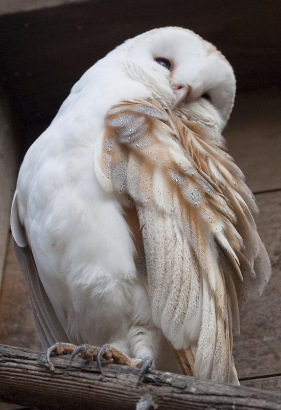 """Barn Owl ♥      """"This totem reflects the ability to the heart and the mind.    It can connect you to spirits and the houses that they haunt.    Mediums and """"ghost hunters"""" often have this totem.    This totem can give you very strong clairvoyant abilities."""""""
