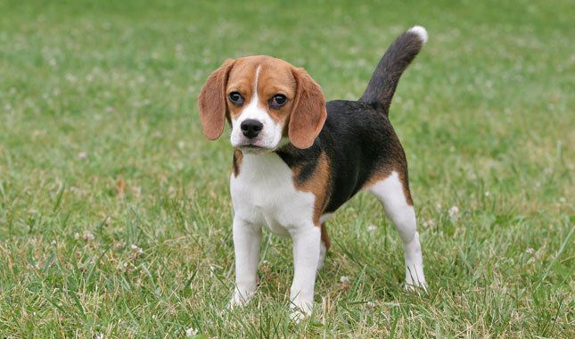 Types of Beagles – According to the American Kennel Club, there are only two different, recognized types of beagles, the 13 inch and the 15 inch. There are however, various hybrids that have resulted from beagle breeding. Beagles are classified as a hound dog and they have been used in hunting since the 1500s.