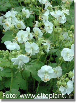 Staudenfoto zu Geranium macrorrhizum 'White-Ness' (Felsen-Storchschnabel, Garten-Storchschnabel)