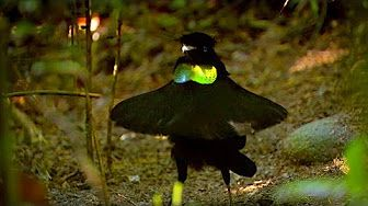 BBC Planet Earth - Birds of Paradise mating dance - YouTube