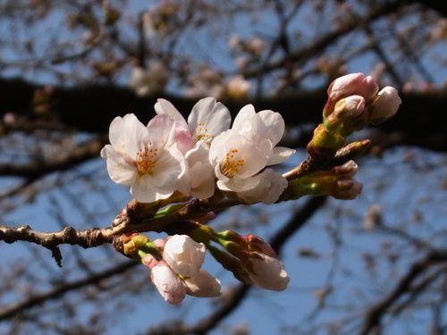 甲府で桜が咲き始めました。 #桜 #さくら