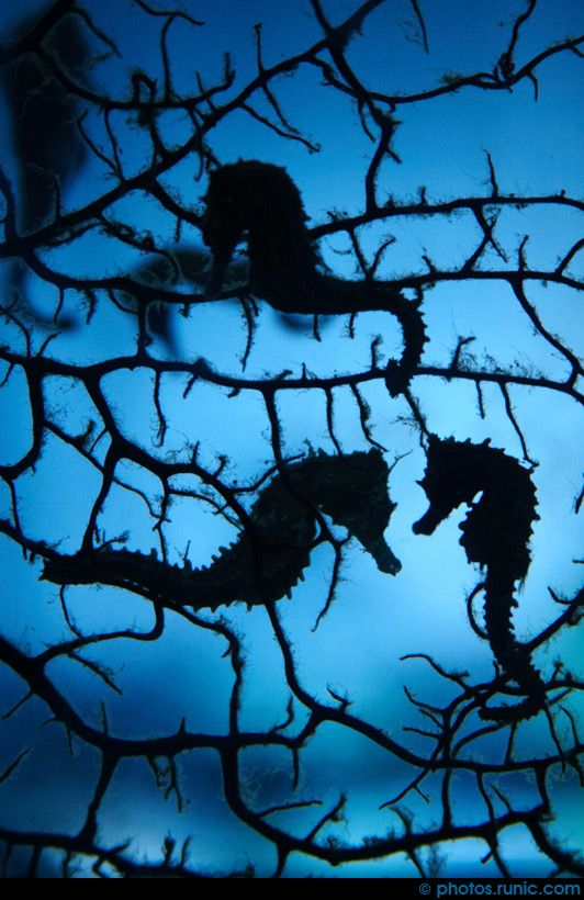 Seahorse Silhouettes, young seahorses silhouetted against the coral at Blue Reef Aquarium in Newquay, Cornwall