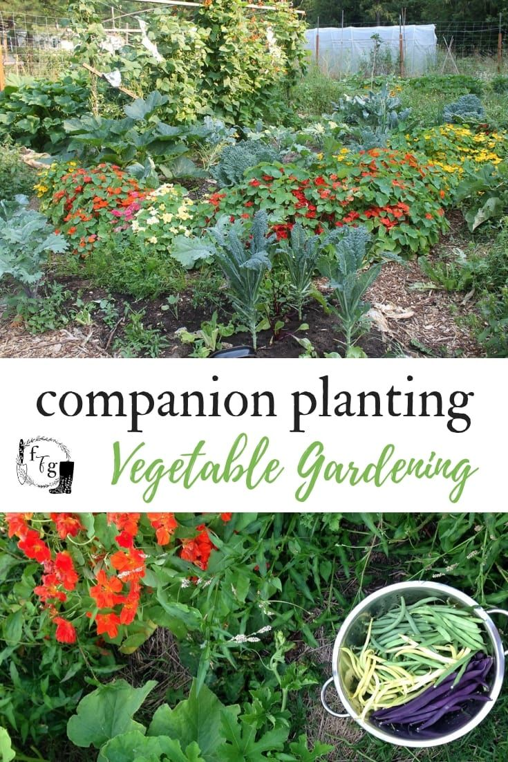 Companion Planting With Zucchini: Veggie Garden Companion Planting Examples