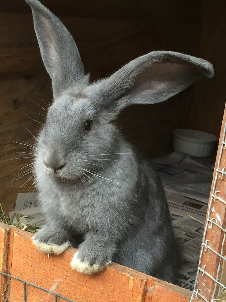 A baby blue Flemish Giant.