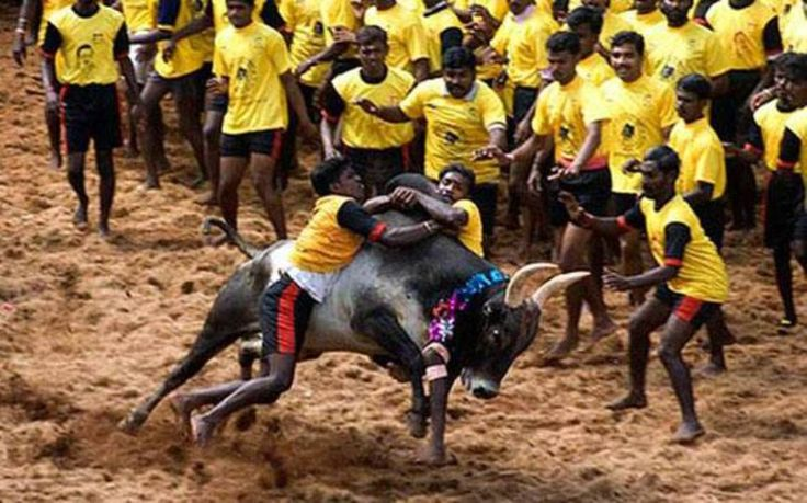 Ban on Jallikattu to stay during Pongal as Supreme Court refuses to give verdict before Saturday​