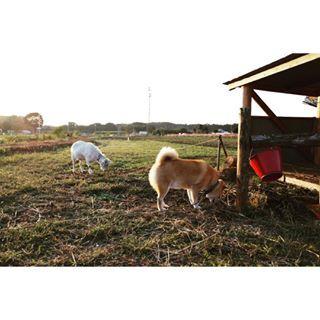 """柴犬, Shiba Inu. <3 ~lisa. """"Be a breakfast. おは〜*\(^o^)/* ユキちゃんと朝ごはんデート <3 <3 <3 .モーニングビュッフェ"""""""