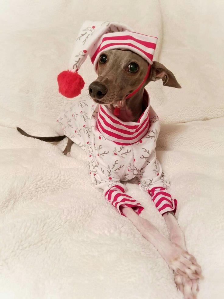 Asher the Italian Greyhound  Feeling festive in his threads by SpoiledBratzwear Follow him on Facebook