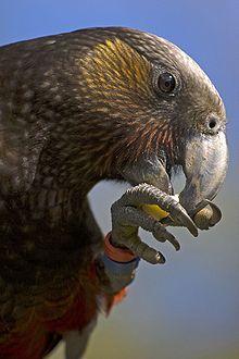 The New Zealand Kaka, like many parrots, uses its feet to hold its food