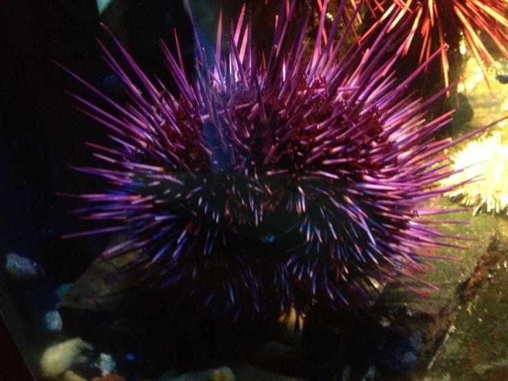 purple sea urchin the deep blue sea pinterest purple