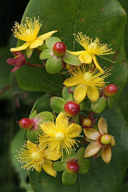 Hypericum (St John's Wort) Great shade plant. - Very tough plant, good for dry areas. Grows into a small shrub. Awesome berries for cutting