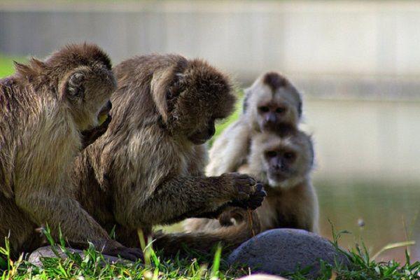 Monos capuchinos aprenden por una recompensa
