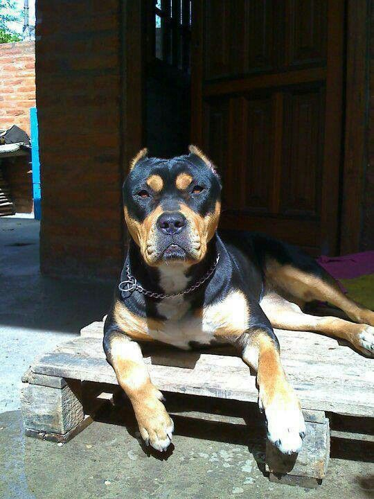 pit bull rottweiler mix and what a cutie i wish the