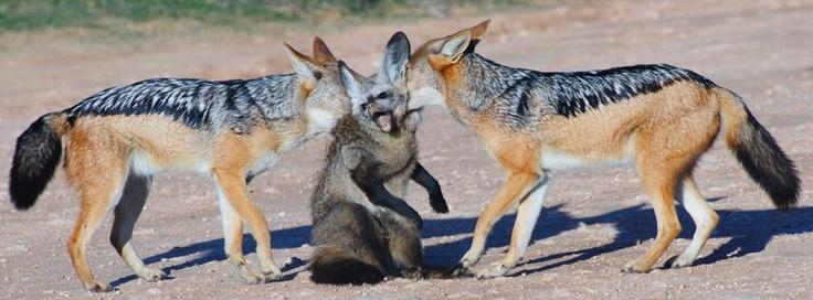 [Image: 57a96d1ab20185ca645b4b22e296343a--bats-foxes.jpg]