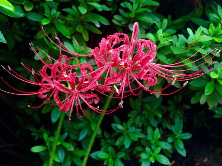 曼珠沙華 Red spider lily さまざまな異名を持つ。