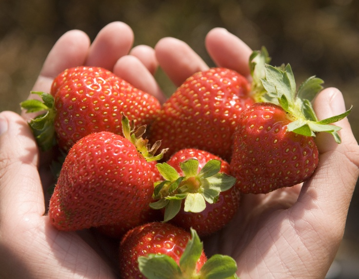 There are strawberries and there are Timboon strawberries. Seriously the most amazing strawberries you will ever taste. Pickable in season from Late October until April. Check with the Visitor Information Centre for opening hours.