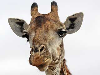 Giraffe close-up showing head and horns