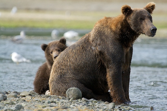 26 best Bears images on Pinterest | Wild animals, Brown ... - photo#45