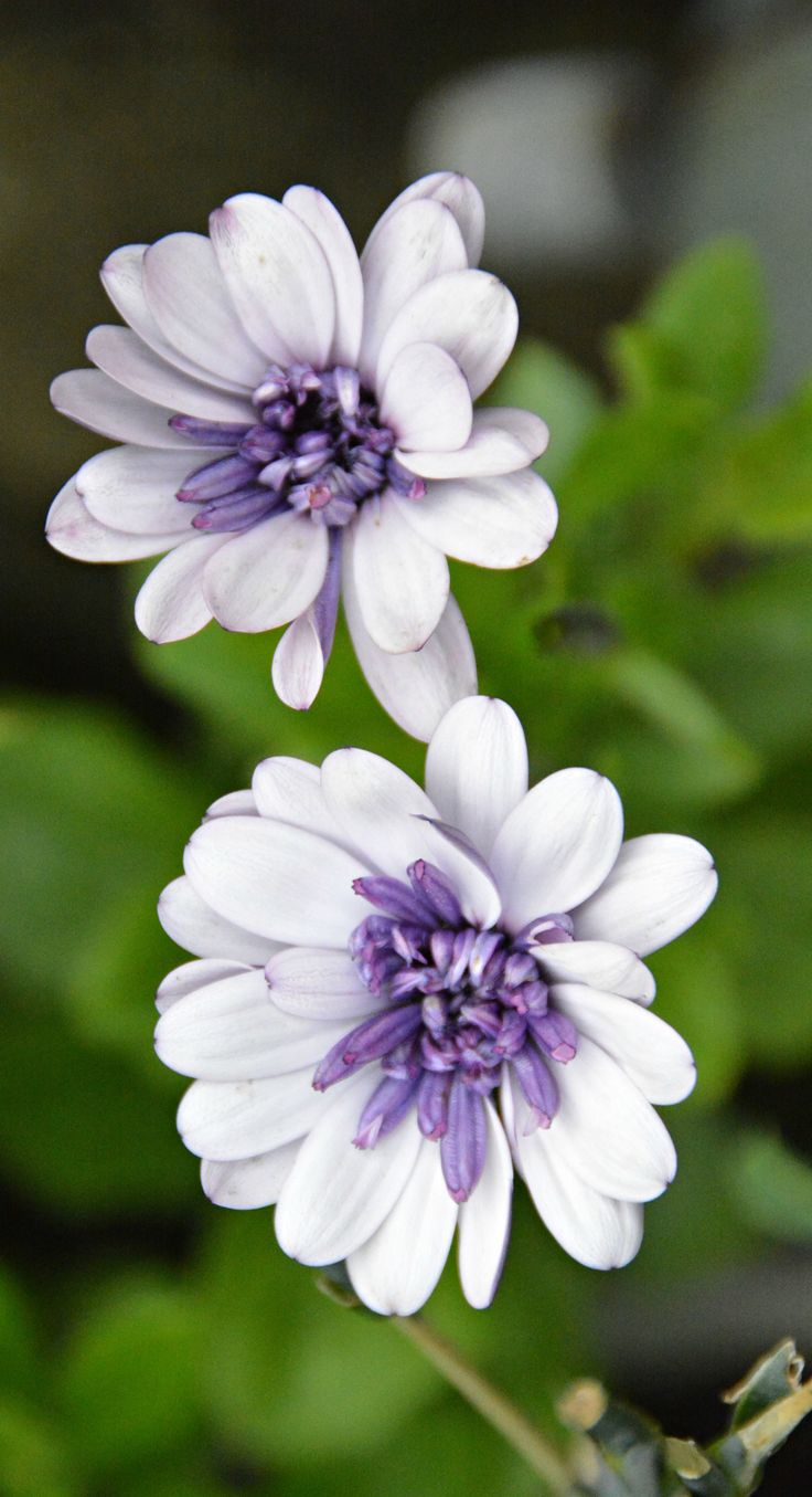 Purple and white Osteospermum in my garden (Wil )