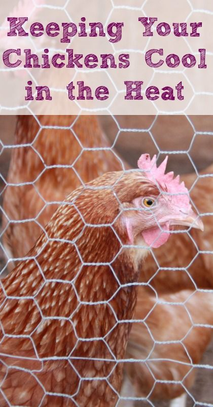 """Keeping Your Chickens Cool in the Heat 