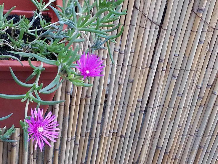 Flowers in my garden: Hardy Ice Plant (Delosperma cooperi) - Ledeni cvet