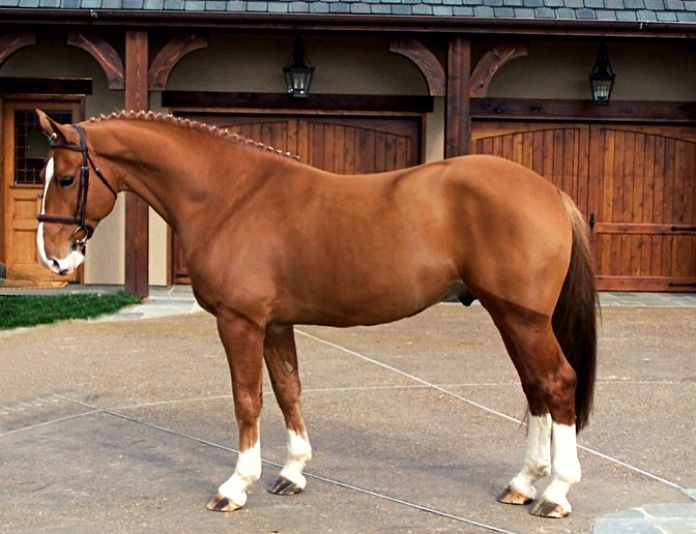 Irish Draught Sport Horse, Grogan's High Fidelity.   The product of breeding an Irish Draught Horse to a hotblood or warmblood  - usually thoroughbred. The premier competition horse of Ireland.