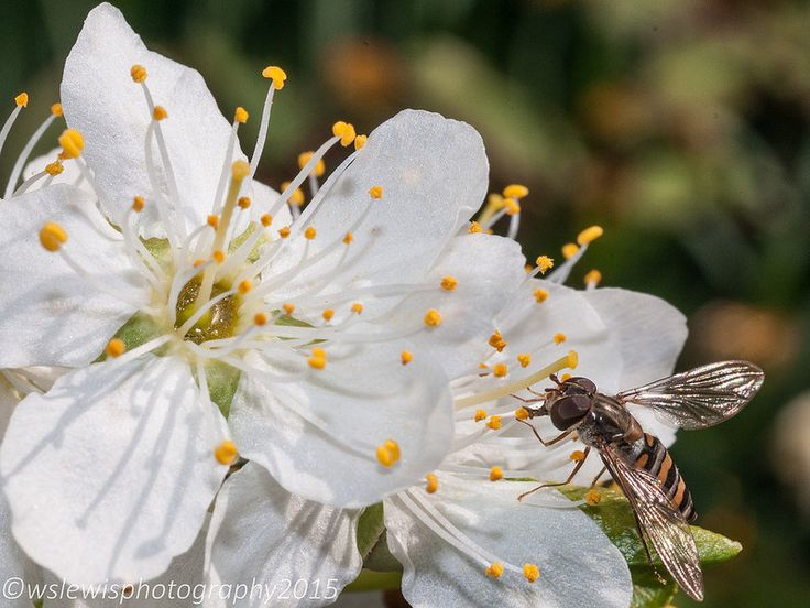 Blossom/hover fly