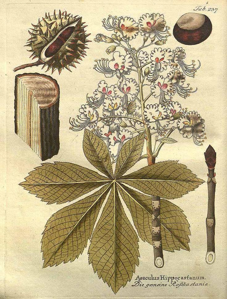 :: Aesculus hippocastanum - Horse-chestnut ::