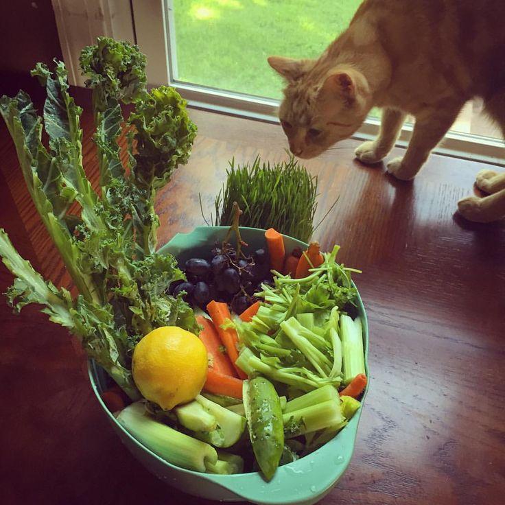 Juicing with Morty #catjuice #wheatgrass #juicing #juice #kale #organic #gardengrown #healthcat #fresh #produce #veggies #vegetables #sprouts #grapes #celery #catgrass #Kittentown
