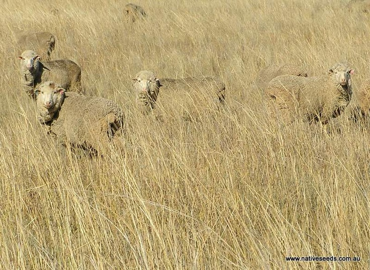 Sheep in native Redgrass pasture