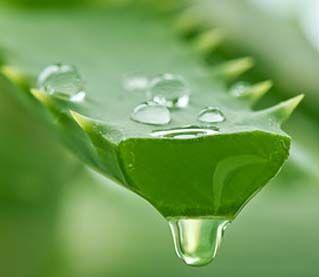 De Aloë Vera-plant is een niet-giftige, sappige plant die water opslaat in de vlezige bladeren, waardoor deze saphoudende plant in staat is om te overleven in gebieden waar weinig regen voorkomt. De Aloë Vera biedt vele gezondheids- en voedingsvoordelen, van acnebehandeling tot huidverzorging. Aloë Vera wordt veel gekweekt als sierplant maar hij is ook populair …