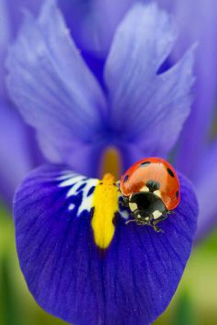 Violet Flower Often Bicoloured Often Blue And Yellow Iris Flowers Ladybug Beautiful Bugs