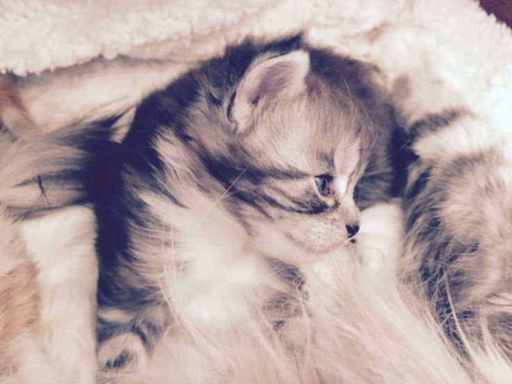 Maine Coon kitten cuteness overload. Kemperioni's Donatella (ns 21 09)