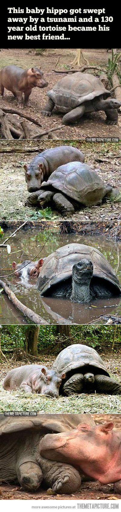 Baby hippo and 130 year old tortoise become best friends.