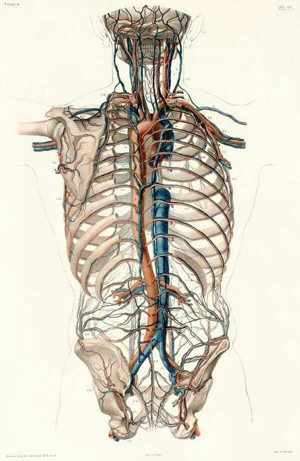 157 besten Anatomy Bilder auf Pinterest   Menschlicher körper ...